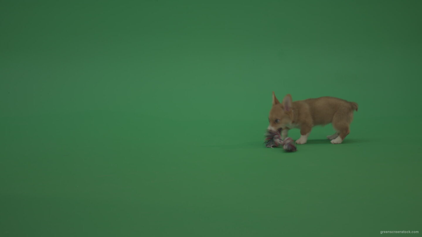 vj video background Green-Screen-Dog-Pembroke-Welsh-Corgi-Animal-play-with-toy-dolly-on-green-background_003