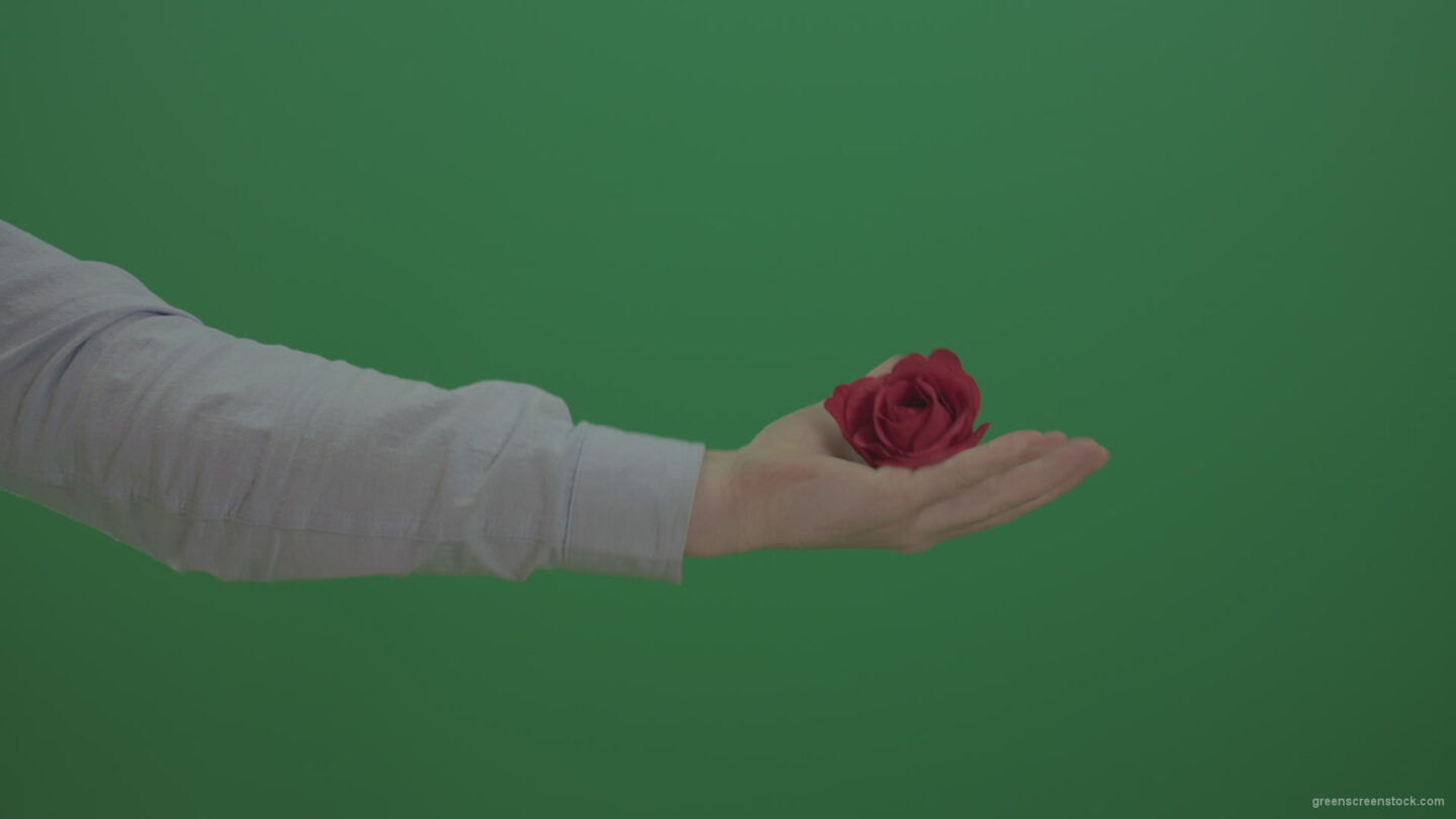 Green-Screen-Man-hand-is-showing-red-rose-flower-and-go-back-isolated-on-green-background_006 Green Screen Stock