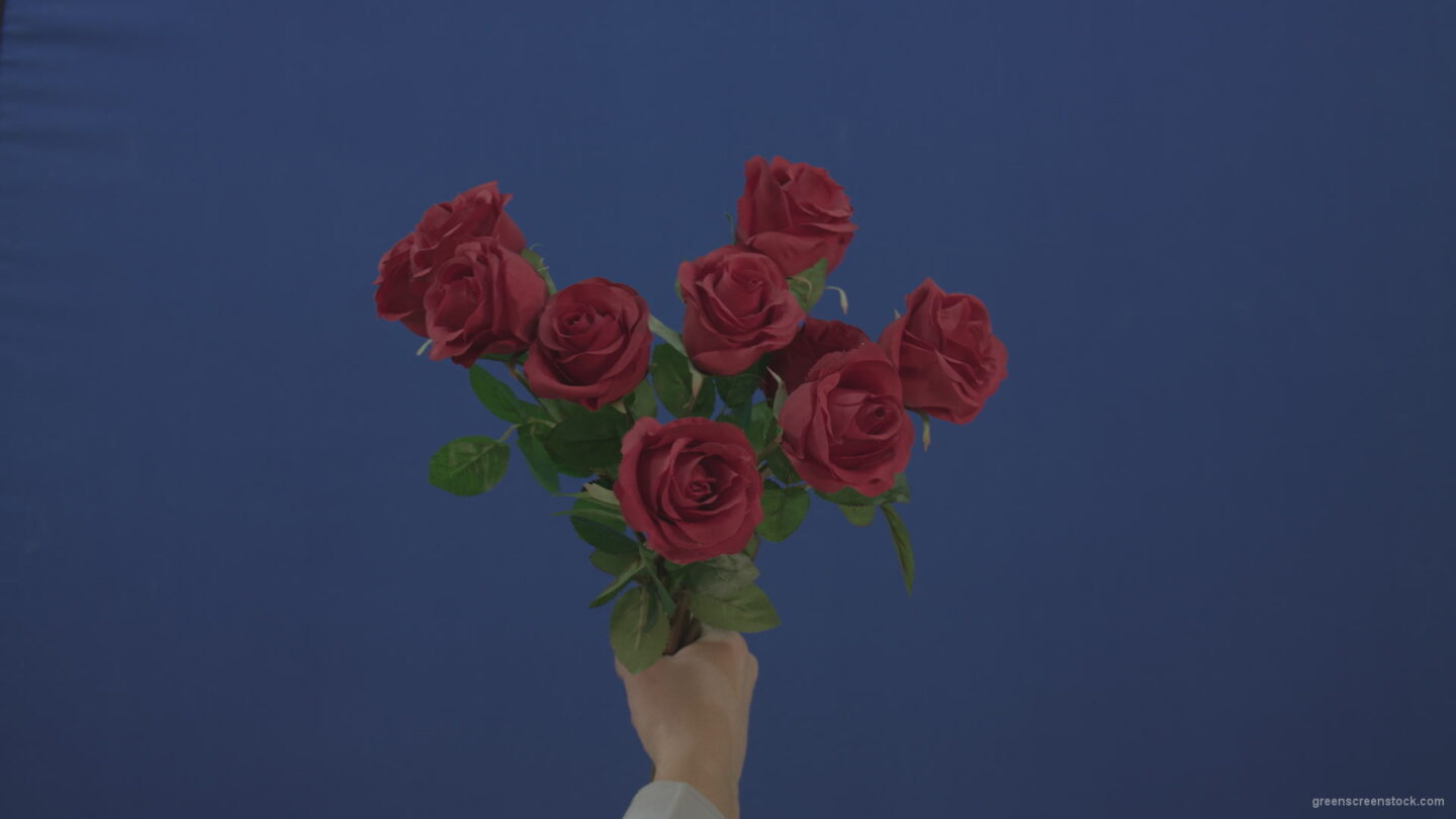 vj video background Man-hand-gift-a-small-bunch-of-flowers-red-rose-isolated-on-blue-chromakey-green-screen_003
