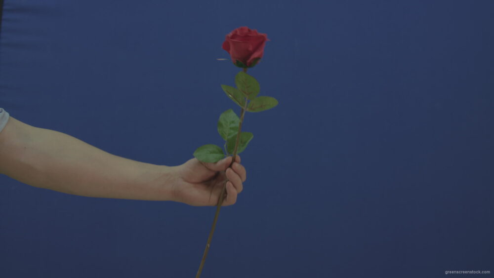 vj video background Man-hand-give-showing-one-red-rose-flower-isolated-on-blue-chromakey-green-screen_003