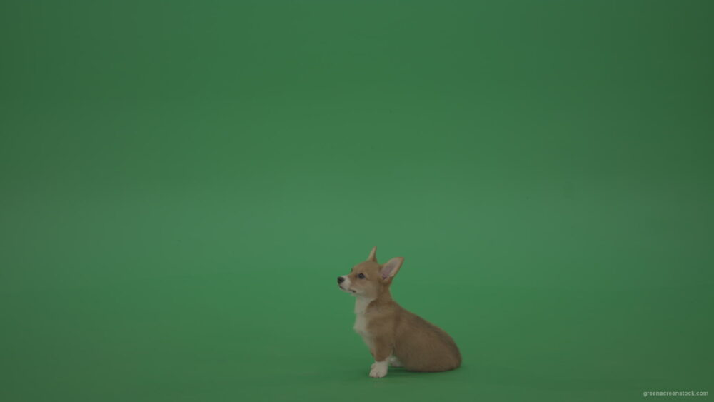 vj video background Pembroke-Welsh-Corgi-sit-on-green-screen-and-go-away-in-4K_003