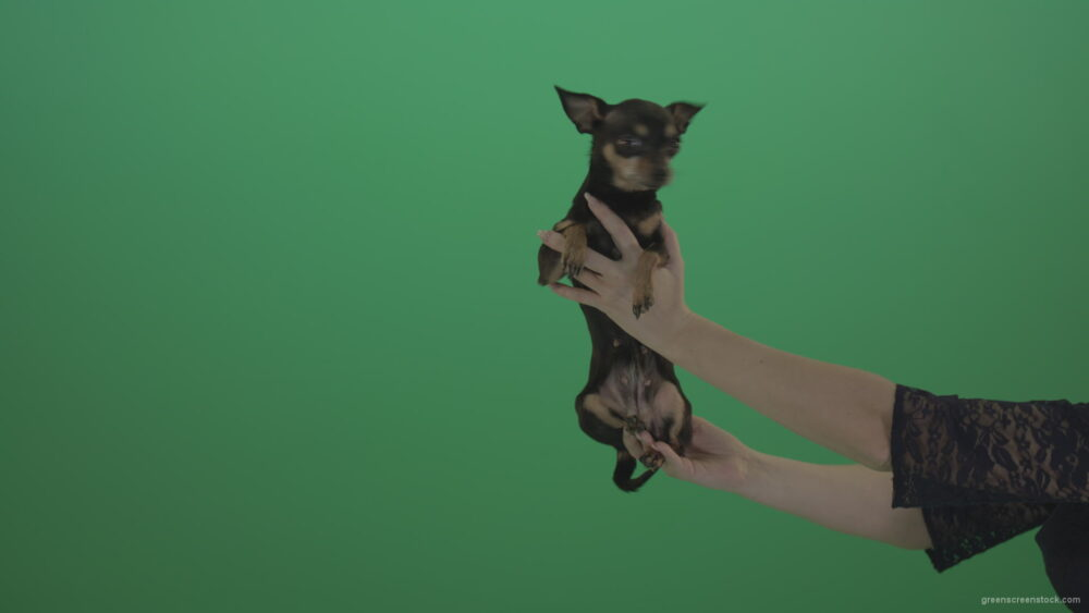 vj video background Small-Toy-terrier-Chihuahua-dog-in-hands-on-green-screen_003