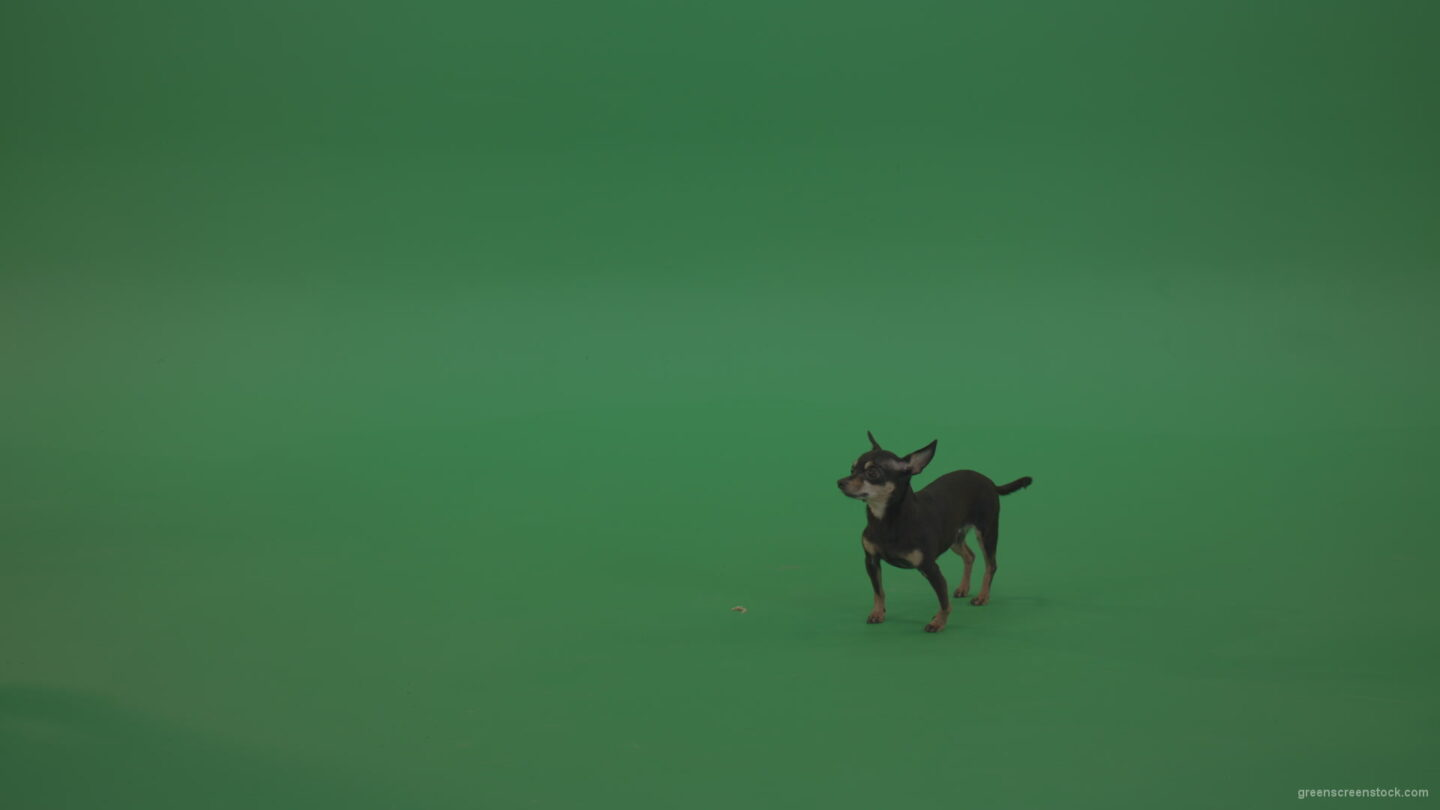 vj video background Small-puppy-Chihuahua-dog-looking-for-eats-in-green-screen-studio_003