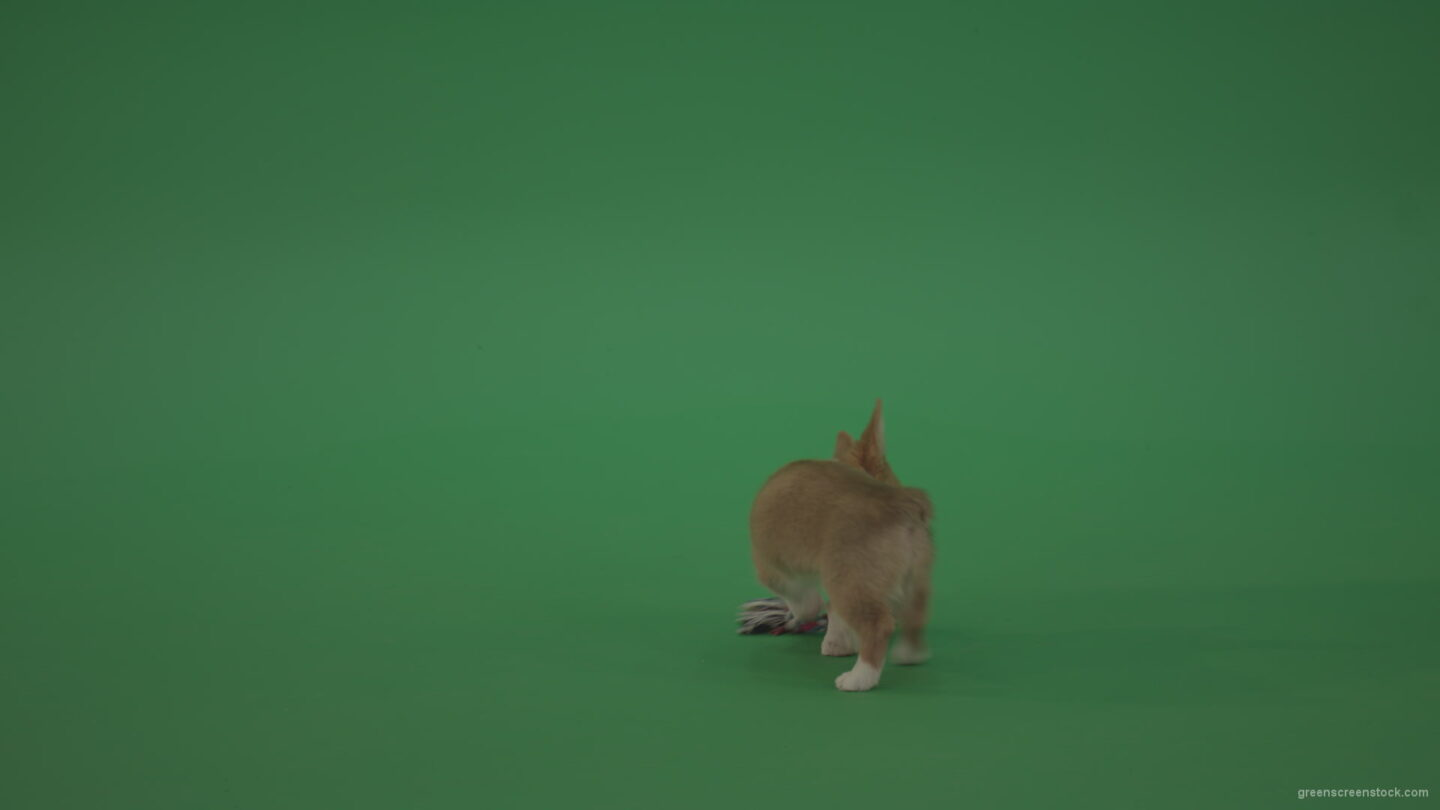 vj video background Small-toy-Korgi-welsh-dog-play-with-doll-on-green-screen-isolated_003