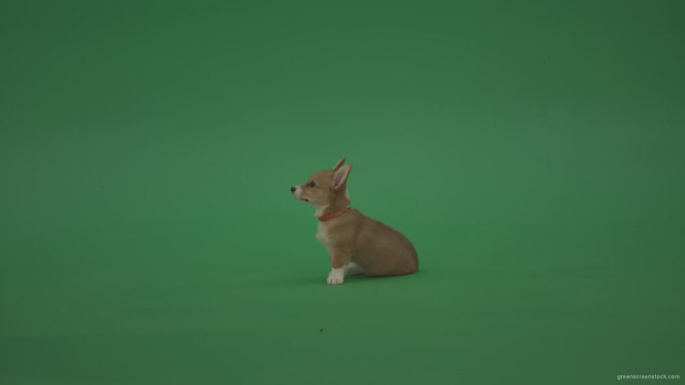 vj video background Small-toy-dog-Pembroke-Welsh-Corgi-puppy-sitting-and-go-away-in-side-view-on-green-screen_003