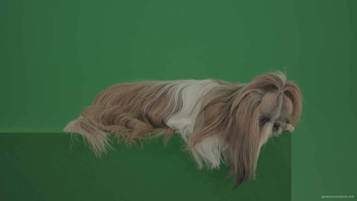 vj video background Award-winner-Shihtzu-dog-is-sad-isolated-on-green-screen-chromakey-background-4K_003