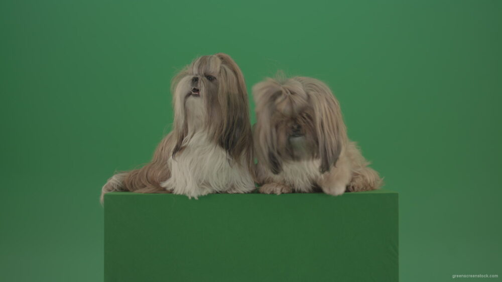 vj video background Award-winning-Small-toy-Shihtzu-Dogs-isolated-on-green-screen_003