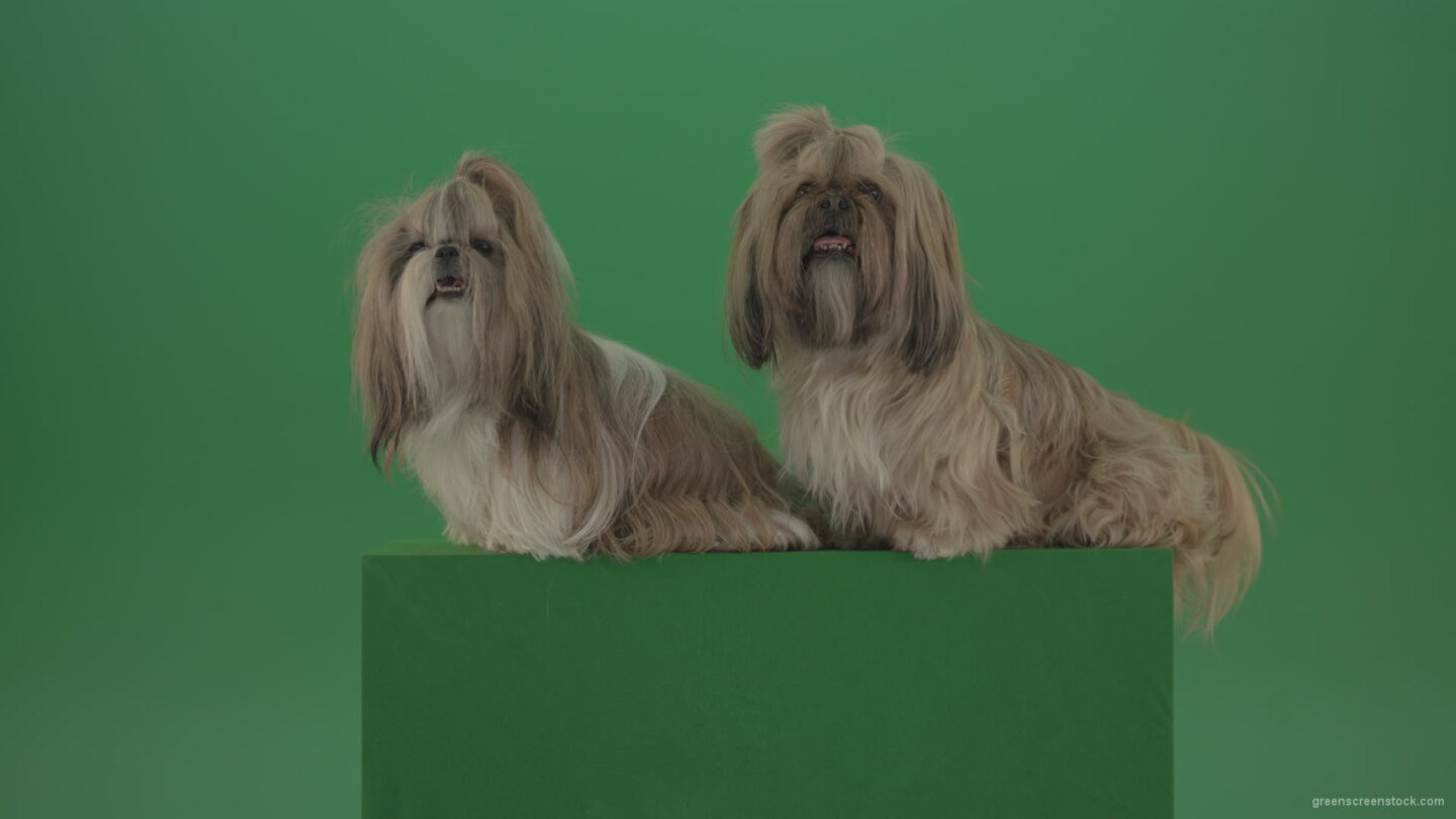 vj video background Awards-winners-Shih-tzu-fashion-luxury-expensive-dog-in-side-view-isolated-on-green-screen_003