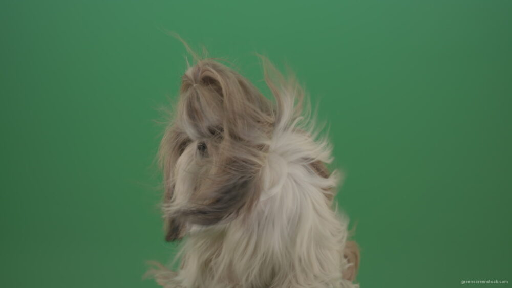 vj video background Fashion-long-hair-Shihtzu-dog-in-wind-turbulence-hairstyle-isolated-on-green-screen_003