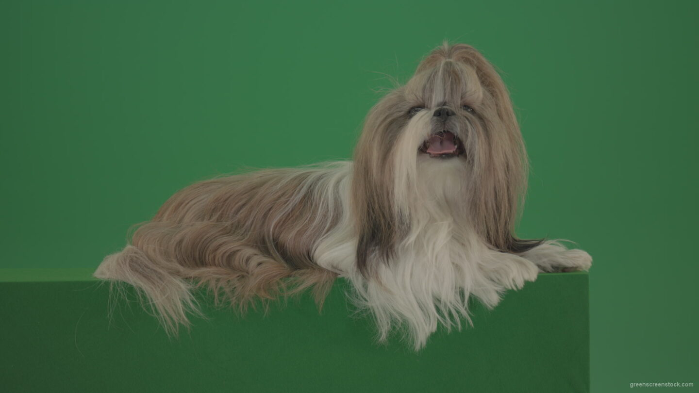vj video background Fashion-luxury-toy-dog-Shihtzu-chilling-on-green-screen-isolated-background-4K_003