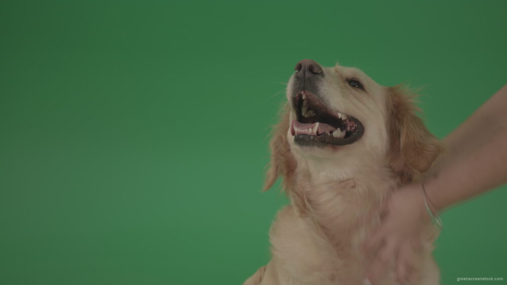 vj video background Female-hands-girl-stroke-the-dog-pet-Golden-Retriever-Gun-Dog-Bird-Dog-head-isolated-on-green-screen-background_003