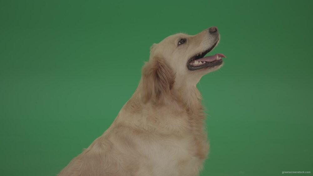 vj video background Golden-Retriever-Gun-Dog-Bird-Dog-head-isolated-in-side-view-on-green-background_003