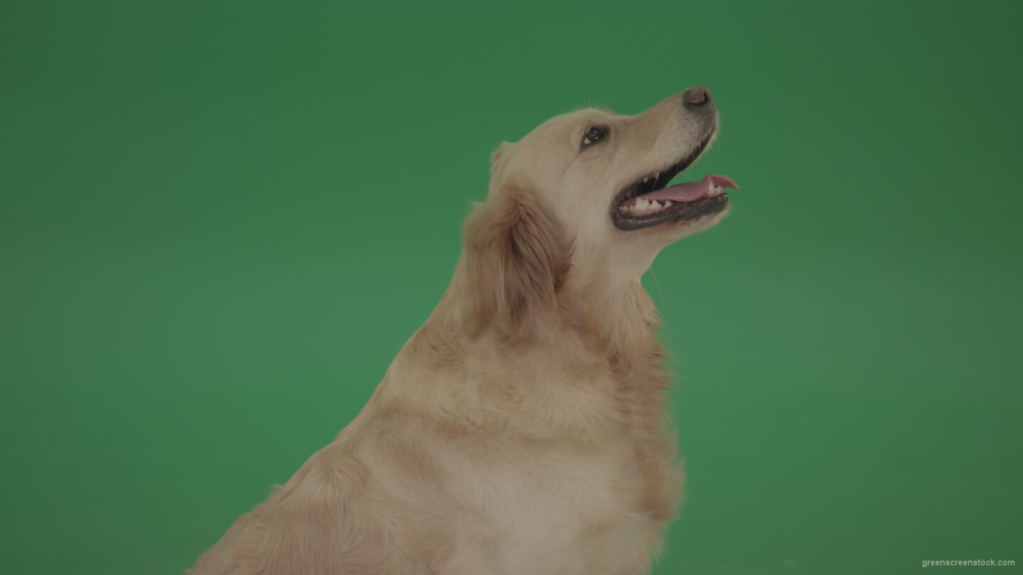 vj video background Golden-Retriever-Gun-Dog-Bird-Dog-head-isolated-in-side-view-on-green-background_003