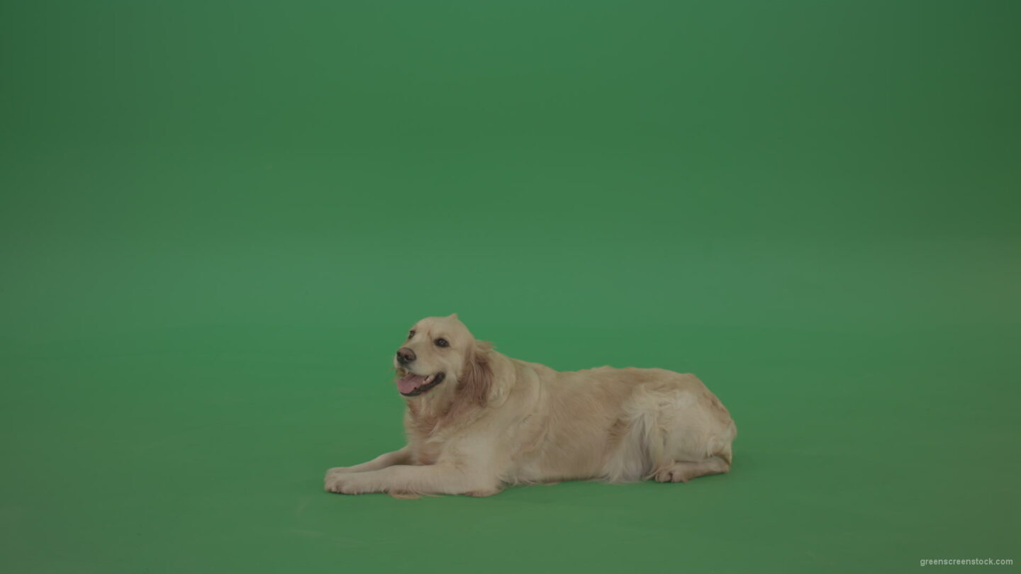 vj video background Golden-Retriever-Gun-Dog-Bird-Dog-lying-green-floor-isolated-on-green-screen_003