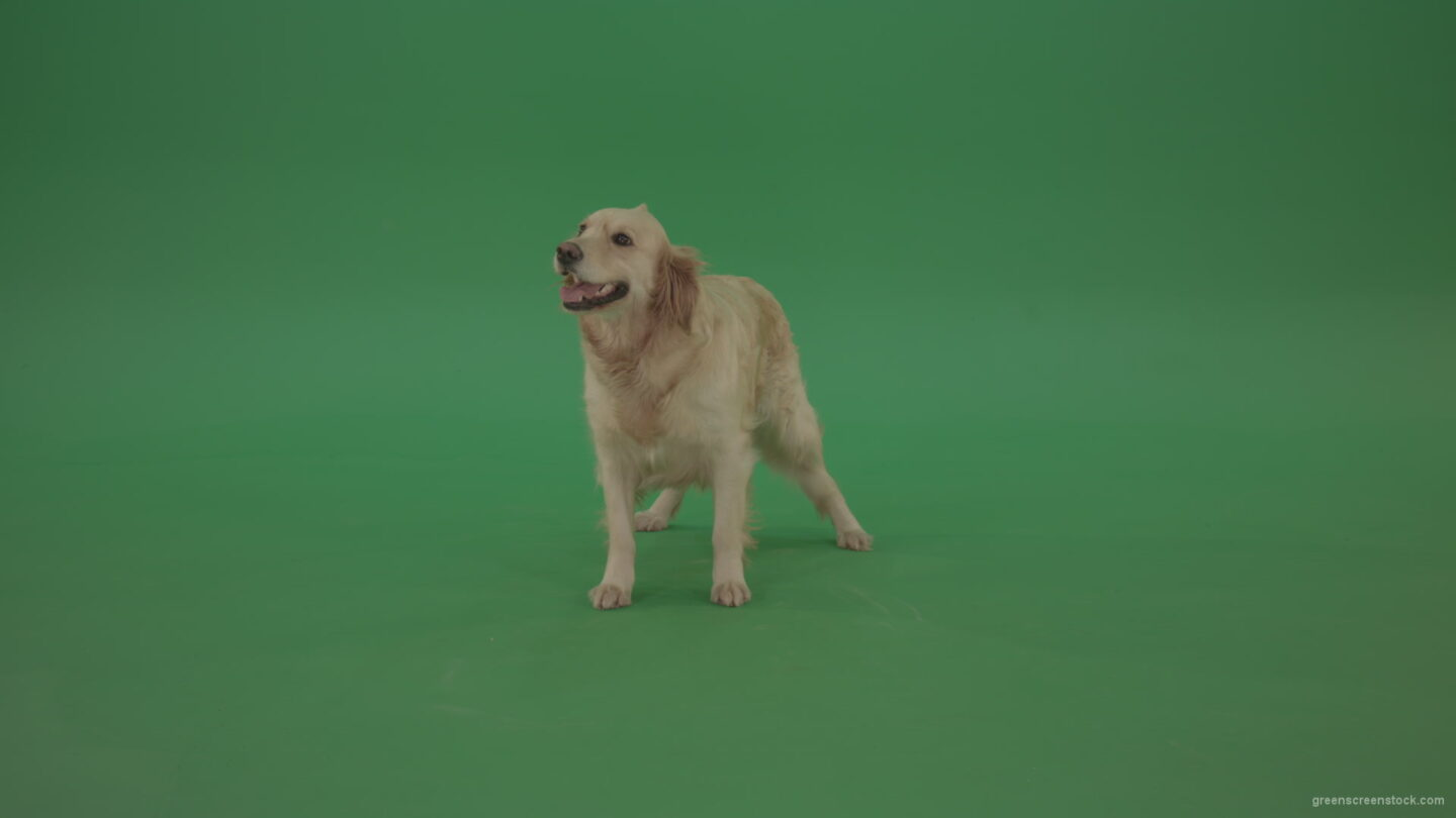 vj video background Golden-Retriever-Gun-Dog-Bird-Dog-stand-isolated-in-green-screen-studio_003