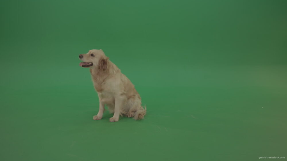 vj video background Golden-Retriever-Gun-Dog-sittin-and-eat-isolated-on-green-screen-4K-video-footage_003