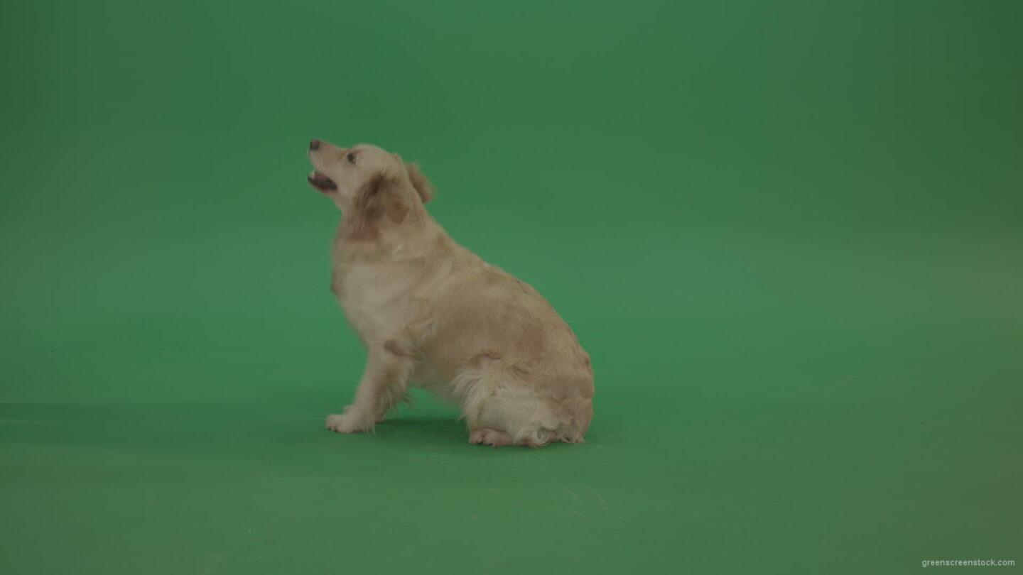 vj video background Golden-Retriever-green-screen-dog-in-side-view-barking-isolated-on-chromakey-green-background_003