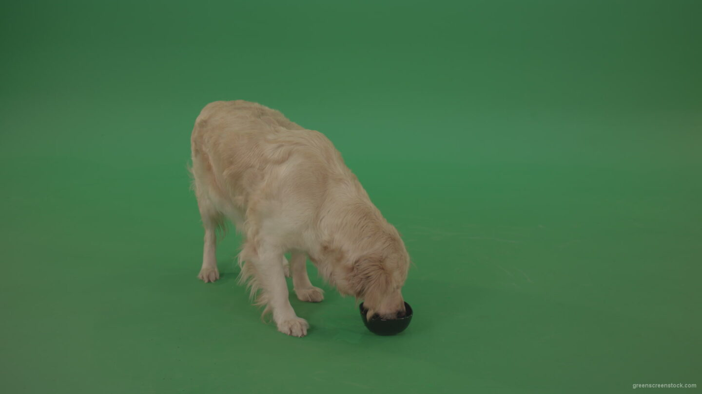 vj video background Golden-Retriever-hunter-Dog-drinking-water-isolated-on-green-screen-4K-video-footage_003