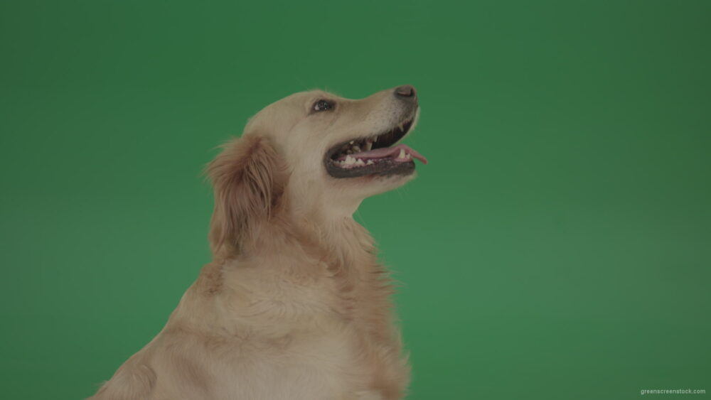 vj video background Golden-Retriever-hunter-Gun-Dog-Bird-Dog-macro-head-with-open-mouth-isolated-on-green-screen-4K-video-footage_003