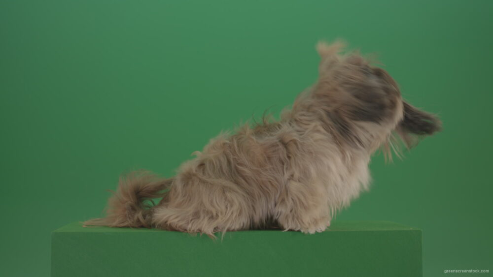 vj video background Greeen-Screen-Dog-Shih-Tzu-Small-puppy-in-winter-storm-isolated-on-green-screen_003