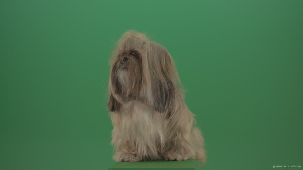 vj video background Green-Screen-Animal-Shihtzu-Small-toy-dog-is-yawling-on-chromakey-background-isolated-4K_003