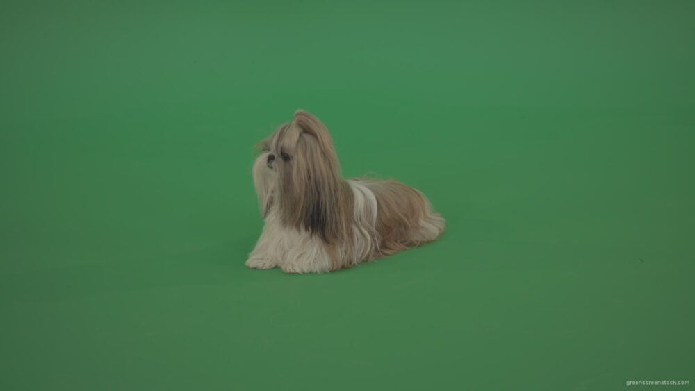 vj video background Green-Screen-Animal-Shihtzu-dog-pet-pedigree-with-long-hair-sitting-isolated-on-green-screen_003