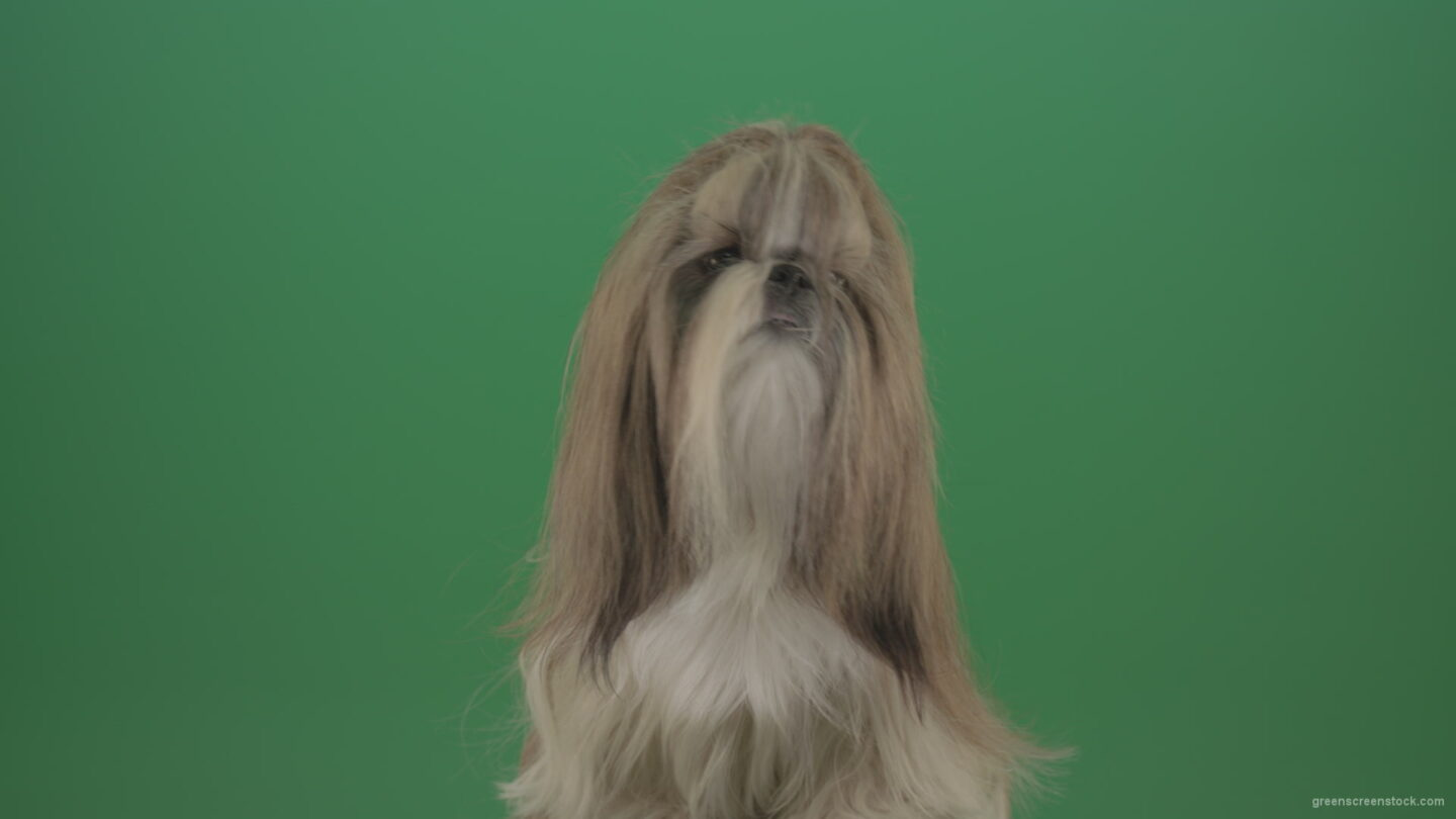 vj video background Green-Screen-Dog-Shih-Tzu-Small-toy-puppy-chewbacca-friend-isolated-on-green-screen_003