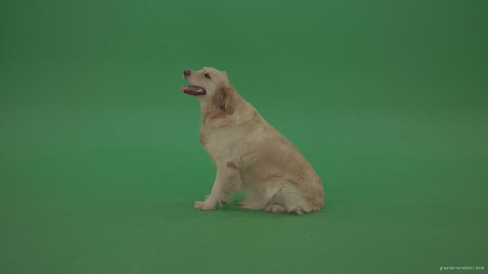 vj video background Green-Screen-Golden-Retriever-Bird-Dog-sitting-barking-and-go-away-isolated-on-green-screen_003