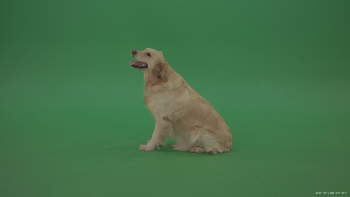 vj video background Green-Screen-Golden-Retriever-Bird-Dog-sitting-barking-and-go-away-isolated-on-green-screen_003