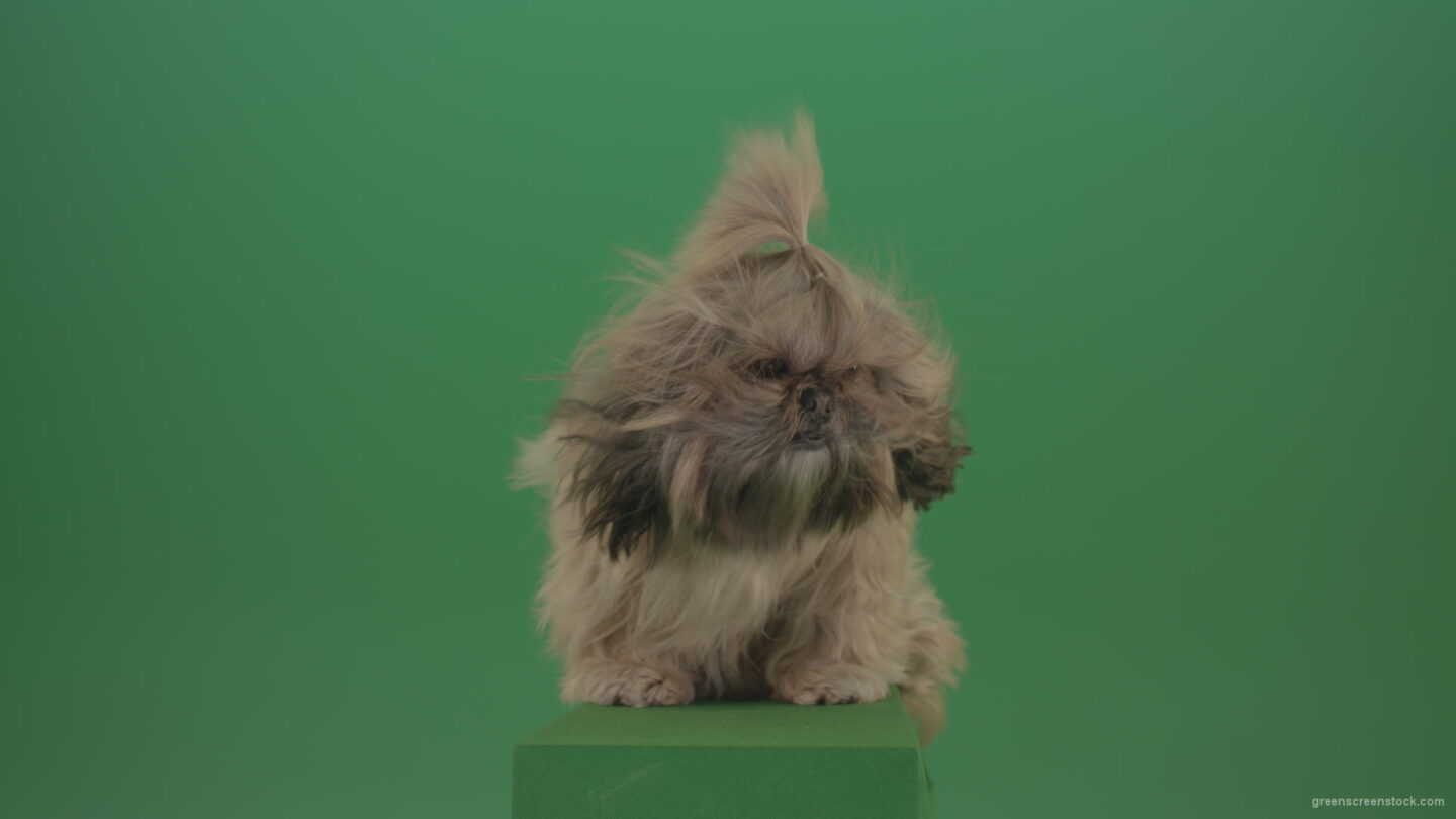 vj video background Green-Screen-Shih-Tzu-Small-toy-dog-footage-for-post-production-in-winter-storm-weather_003