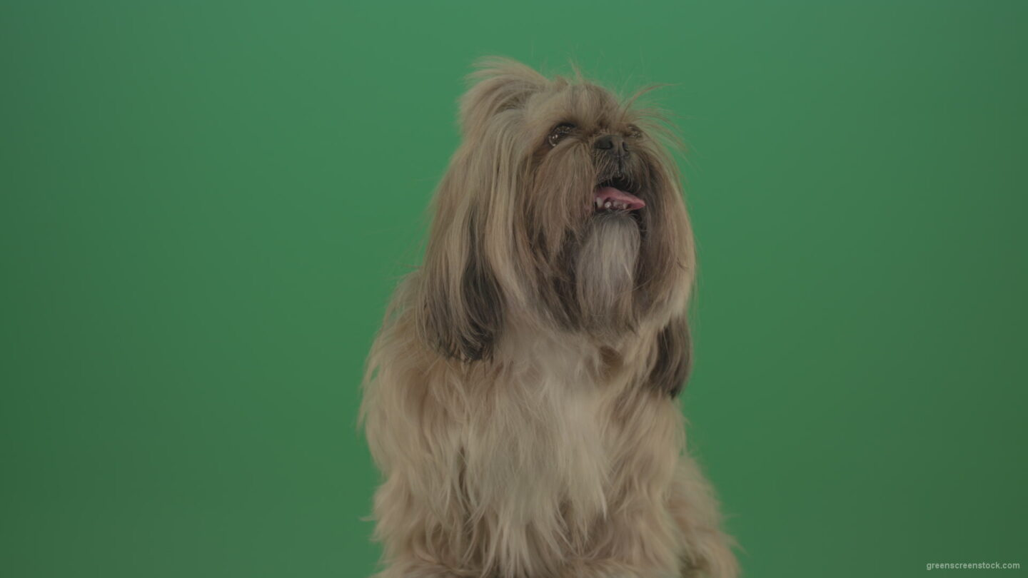 vj video background Green-Screen-Shihtzu-toy-dog-head-breathes-with-tongue-on-green-screen-4K_003