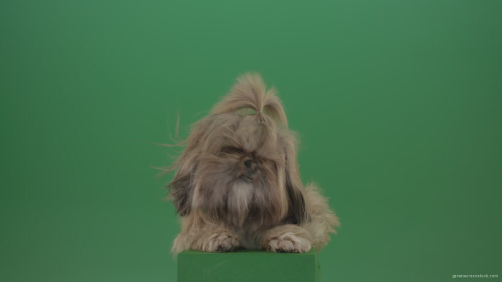 vj video background Shih-Tzu-Small-toy-dog-fashion-puppy-dont-like-the-wind-long-hair-dog-turbulence-isolated-on-green-screen_003