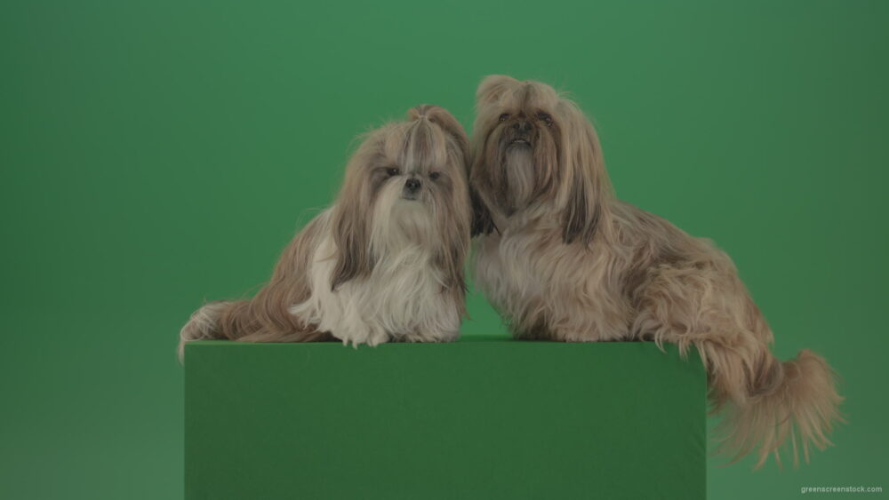 vj video background Two-cute-Shih-Tzu-Small-toy-dogs-yawling-and-sitting-on-green-screen-4K_003