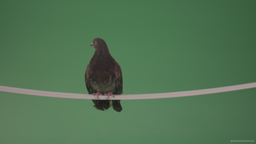 vj video background Beautiful-bird-of-doves-flew-to-explore-the-terrain-isolated-on-chromakey-background_003