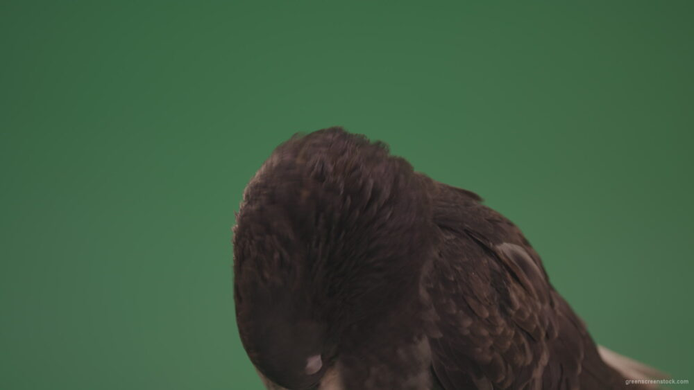 vj video background Bird-Dove-is-cleaning-up-its-feathers-isolated-on-chromakey-background_003