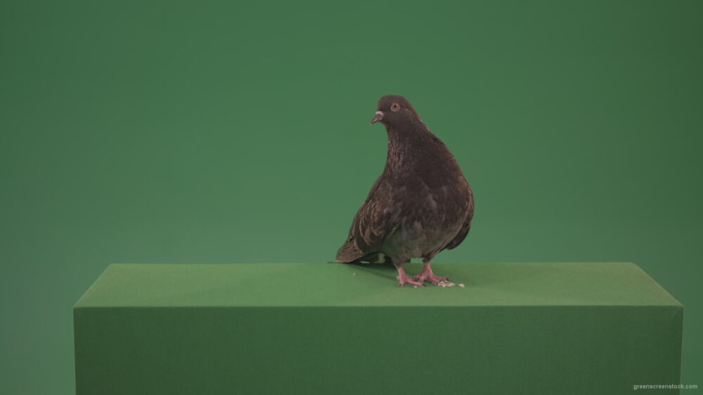 vj video background Bird-of-gray-beige-goes-in-different-directions-isolated-on-chromakey-background_003