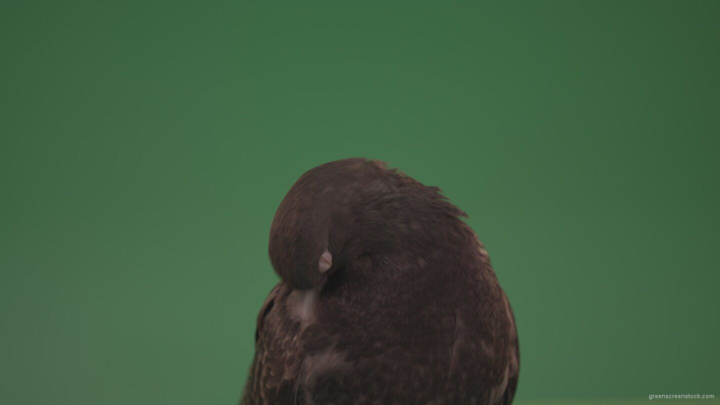 vj video background Bird-of-pigeon-is-sitting-on-the-house-and-looking-at-the-city-isolated-on-chromakey-background_003