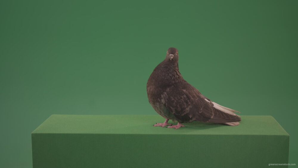 vj video background Bird-wanders-around-the-big-city-of-a-dove-isolated-on-green-background_003