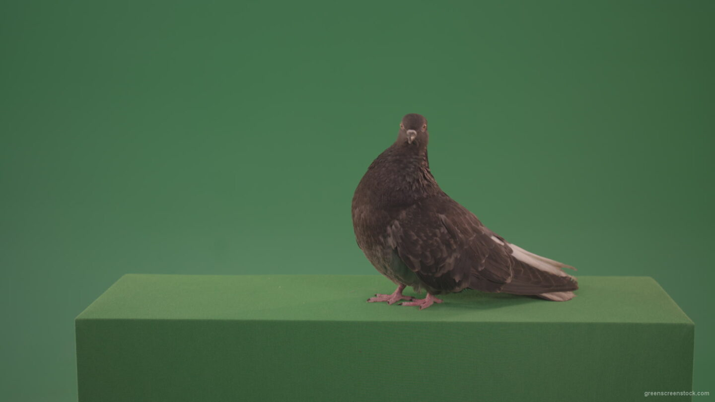 Green Screen Birds Video Footage - Green Screen Stock