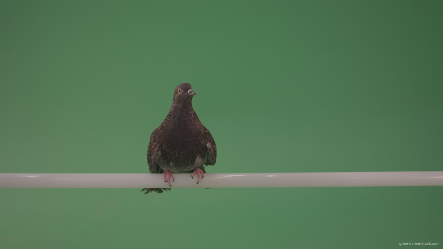vj video background City-bird-of-a-dove-sitting-on-a-branch-in-the-city-isolated-on-green-background_003