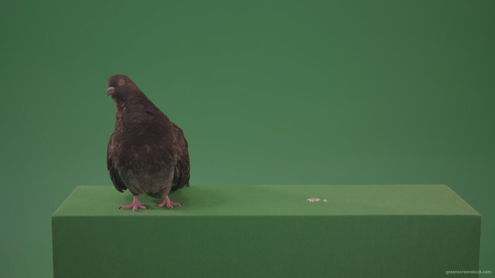 vj video background Dove-bird-arrived-in-the-woods-in-search-of-its-place-isolated-on-green-background_003
