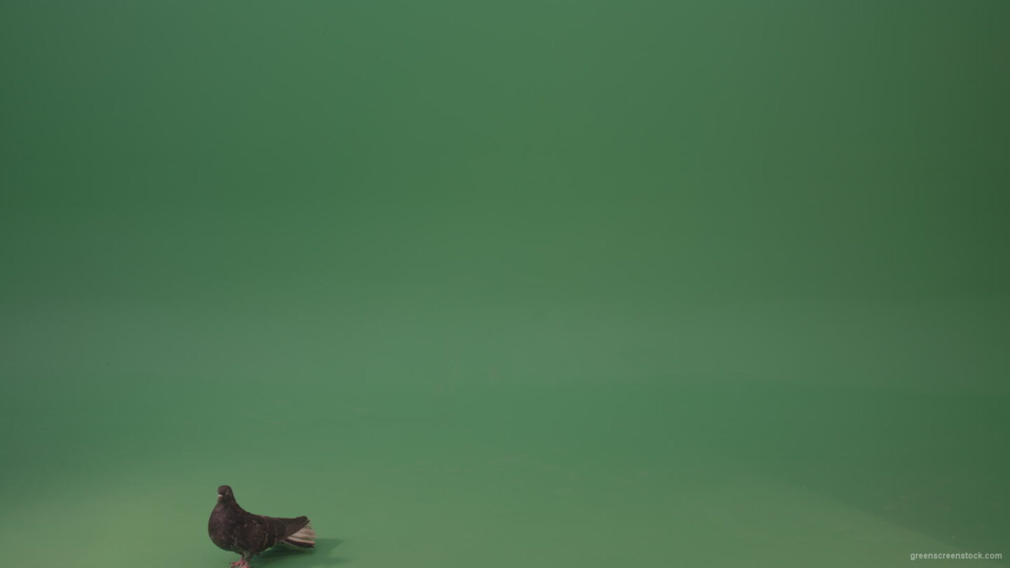 Dove-bird-flies-and-descends-to-the-ground-isolated-on-green-background_008 Green Screen Stock
