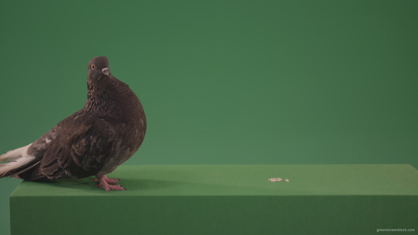 vj video background Dove-bird-rides-along-the-street-and-look-for-food-for-me-isolated-in-green-screen-studio_003