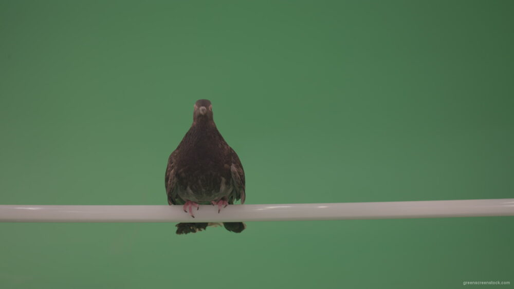 vj video background Dove-sitting-on-a-branch-in-the-city-isolated-in-green-screen-studio_003