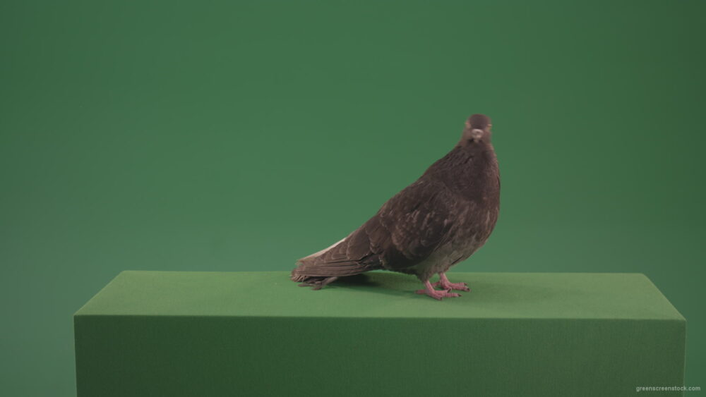 vj video background Elite-pigeon-professionally-kisses-a-camera-isolated-on-chromakey-background_003
