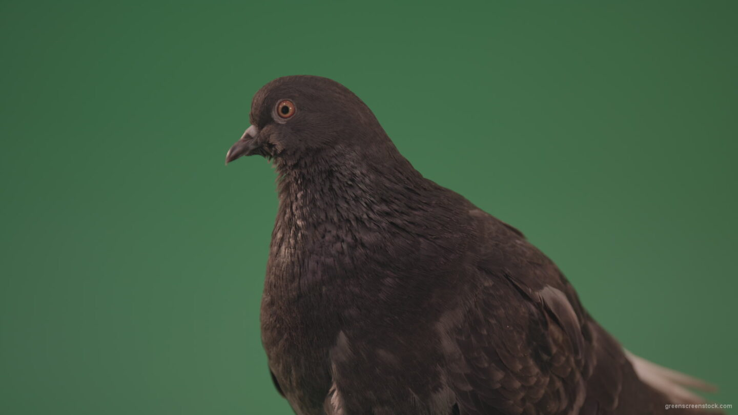 vj video background Gray-bird-of-mountain-origin-pigeon-strokes-its-lush-feathers-isolated-in-green-screen-studio_003