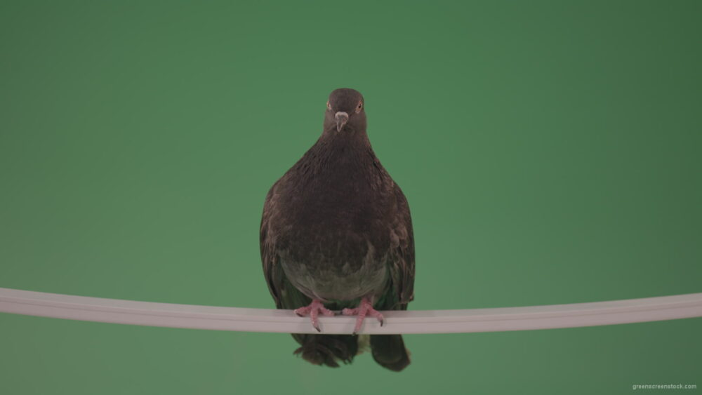 vj video background Gray-wild-bird-doves-sitting-on-a-branch-in-the-city-isolated-in-green-screen-studio_003