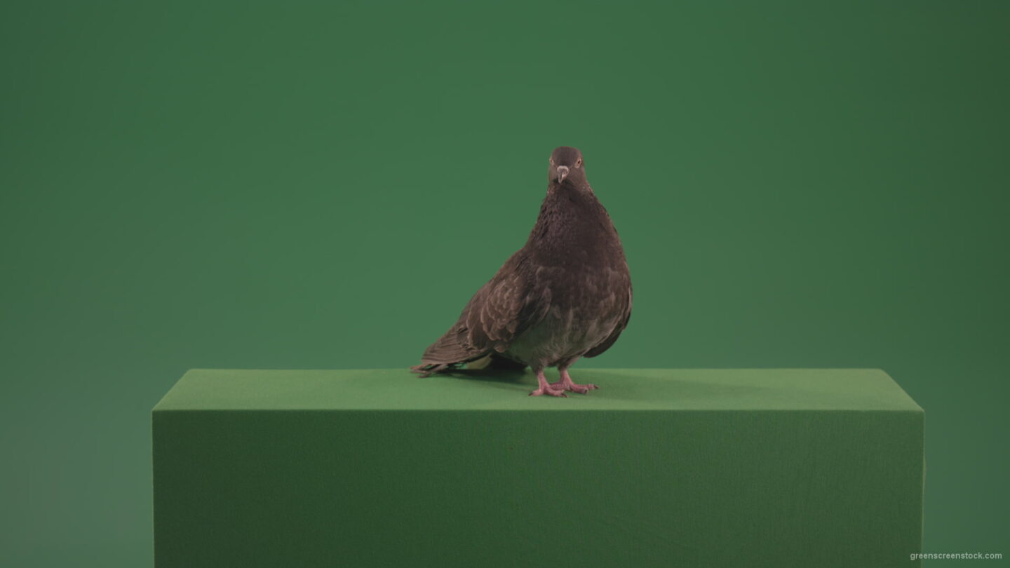 vj video background Great-Pigeon-Bird-looked-around-isolated-on-green-screen_003