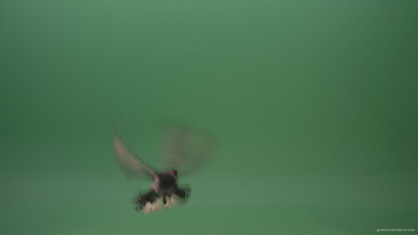 Great-flight-of-blue-bird-breed-of-pigeons-isolated-on-green-screen_007 Green Screen Stock