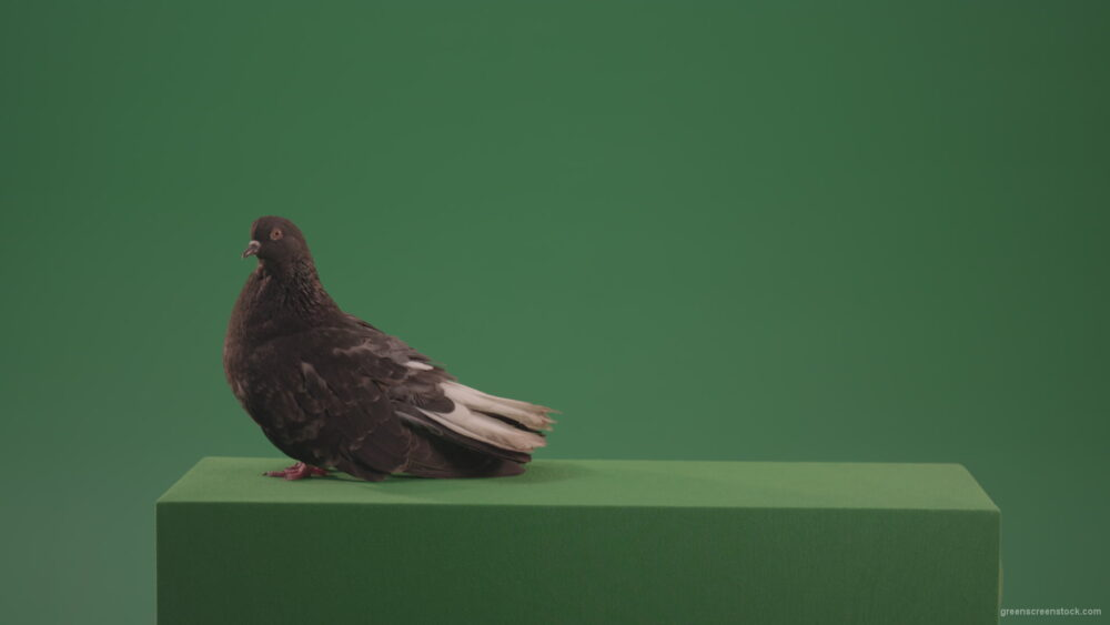 vj video background Pigeon-bird-exclusive-walks-and-waves-isolated-on-green-screen_003